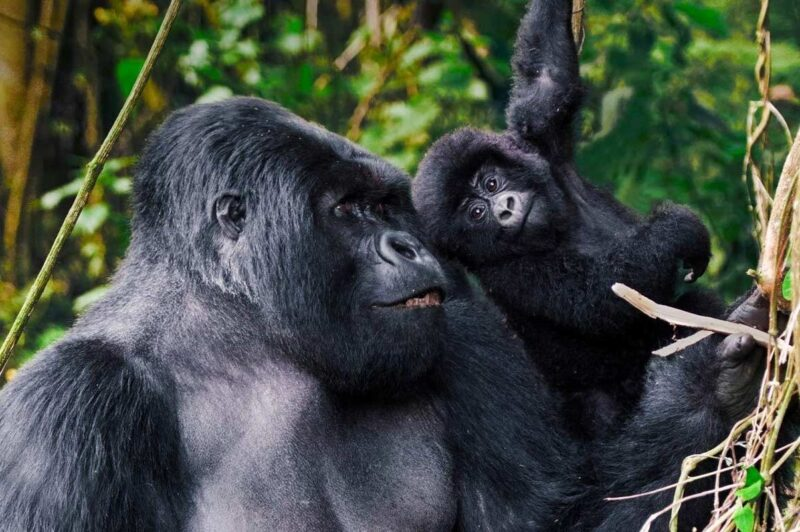 3 Days Gorilla Tour To Bwindi
