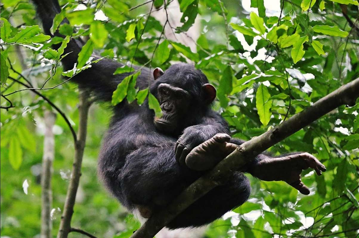 6 Days Safari To Murchison Falls And Chimp Tracking